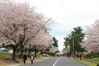 ニュース画像:キャンプ座間、4月1日に「桜まつり2017」開催 基地を一般開放