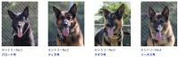 ニュース画像:美ら島エアーフェスタ、「警備犬総選挙」で予備選挙投票を受付中
