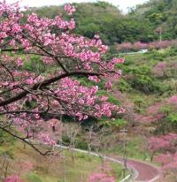ニュース画像 1枚目:琉球寒緋桜