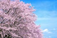ニュース画像:朝日航空、空からのお花見が楽しめる遊覧飛行 3月下旬から