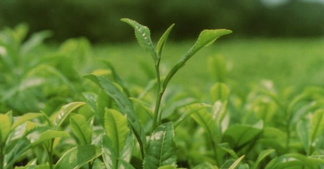 ニュース画像 1枚目:和紅茶 茶葉イメージ