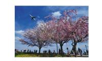 ニュース画像:成田「さくらの山」、花見期間は土休日にバス増便