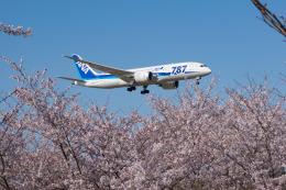 しぃさんが、成田国際空港で撮影した全日空 787-8 Dreamlinerの航空フォト(飛行機 写真・画像)